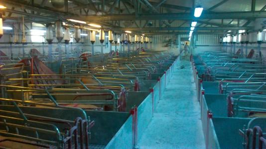 poducători ferme de porci